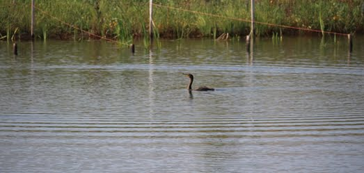 A cormorant swims at Northerly Island/picture from City of Chicago