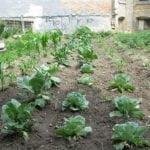 Garden in Chicago grows vegetables