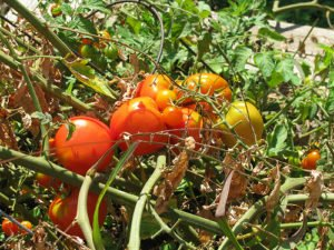 Brickyard Garden in Chicago grows tomato plants